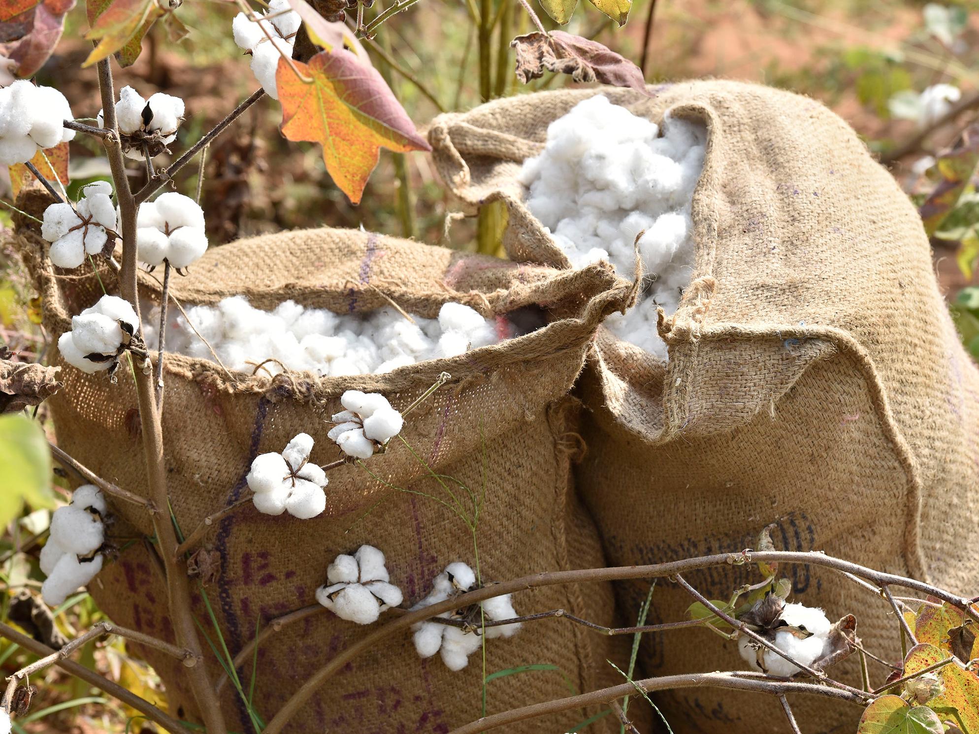 Zwei Säcke mit geernteter Baumwolle stehen auf einem Baumwollfeld.