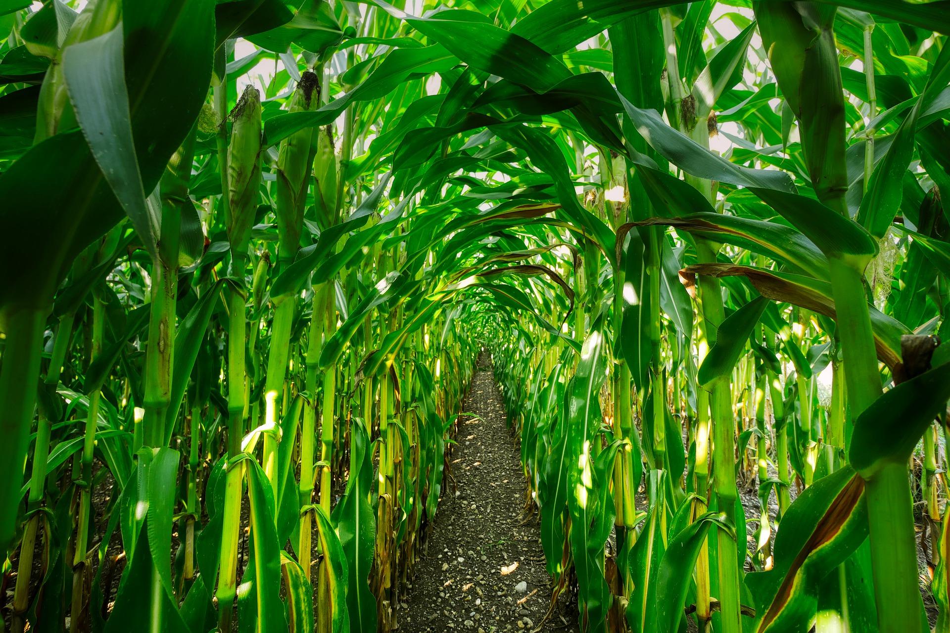 Maisfeld mit aufbereitetem Löschpulver als Dünger